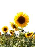 солнце 03 цветков Стоковые Фотографии RF