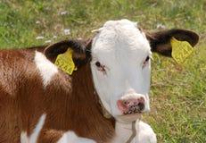 03 krowa Obraz Royalty Free