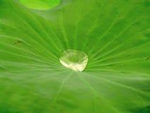 03 lotosu fotografia stock