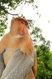 03 probocis обезьяны Стоковое Фото