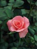 03 różową różę fotografia royalty free