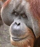 03 stary orangutan Fotografia Stock