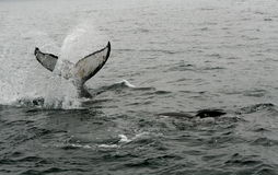 03 wale humpback Fotografia Royalty Free