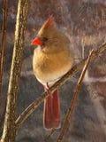 0375T cardinale Fotografie Stock Libere da Diritti