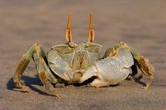 04个螃蟹鬼魂 免版税库存图片