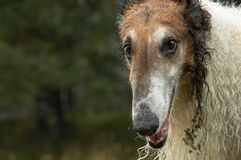 04俄语猎狼犬 库存图片