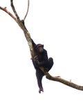 04只黑猩猩猴子 库存图片