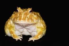 04有角的青蛙 库存照片