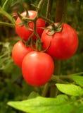 04蕃茄 库存图片