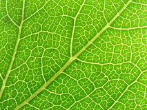04 зеленых вены листьев Стоковое Изображение