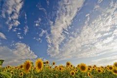 04 солнцецвета полей Стоковая Фотография RF