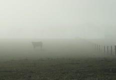 04 bovine foggy 免版税库存图片
