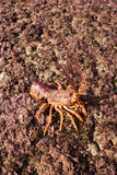 04 crayfish Fotografia Stock