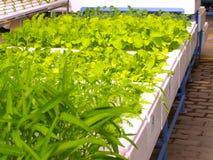 04 hidropónicos vegetales Foto de archivo libre de regalías
