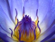 04 lotosu Fotografia Royalty Free