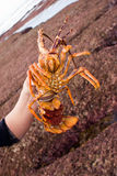 05个小龙虾 免版税库存照片