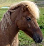 05似马的冰岛语 库存照片