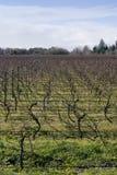 05棵葡萄树nz冬天 免版税库存照片