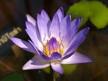 05 lotusblommar Royaltyfria Bilder