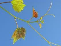 05 winogron Zdjęcie Royalty Free