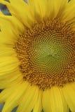 052 słonecznik Obraz Stock