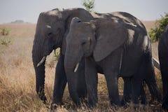 054个动物大象 免版税图库摄影