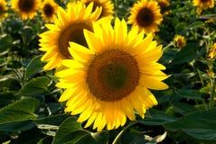 06 słoneczników Obrazy Royalty Free