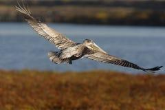 0692 коричневых крыла распространения пеликана Стоковые Изображения