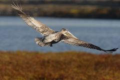 0692 bruna pelikanspreadvingar Arkivbilder