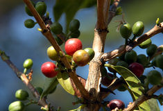 07咖啡危地马拉结构树 库存图片