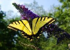 07 b 7 monarchów Fotografia Stock
