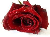 07 czerwień wzrastał Obrazy Royalty Free