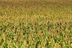 07, pole kukurydzy Zdjęcie Royalty Free