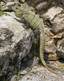 0724 Iguana. Mexican green iguana in the sun at Chichen Itza Stock Photos