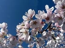 08 11开花樱桃dc华盛顿 库存照片