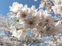 08 13开花樱桃dc华盛顿 库存图片