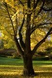 08 3448 spadek ulistnienia drzewo Obrazy Royalty Free