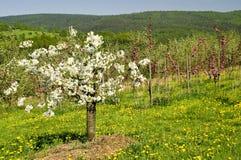 09个苹果开花的结构树 库存照片