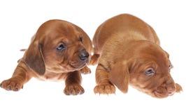 09 щенят dachshund Стоковые Изображения