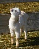 0901个山羊孩子 免版税库存图片