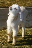 0902个山羊孩子 图库摄影