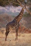 0986长颈鹿 库存照片