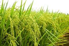 1个亚洲域稻系列 库存图片
