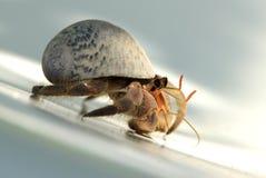 1个加勒比螃蟹隐士 免版税图库摄影