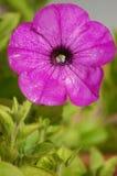 1个喇叭花粉红色 库存照片