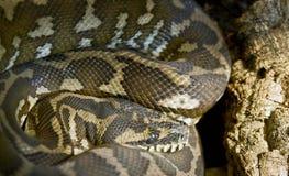 1个地毯几内亚新的Python 免版税图库摄影