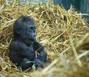 1个大猩猩 免版税库存图片
