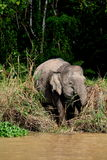 1个婆罗洲大象侏儒 库存照片