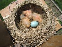 1个婴孩鸡蛋 库存图片