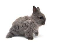 1个安哥拉猫兔宝宝一点 免版税图库摄影